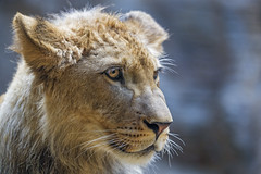 Profile portrait of the young lion (Tambako the Jaguar) Tags: lion big wild cat male young close portrait face looking cute olomouc zoo czechrepublic nikon d5