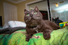 More Sean 001 (commontropes) Tags: sonya7rii sony sean bean cat cats lensbaby burnside