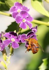 Teddy Bear Bee 001 (DMT@YLOR) Tags: bee native teddybearbee flower geishagirl purple green brown fur furry nature wildlife outdoors outside summer pollen goodna queensland australia aussie