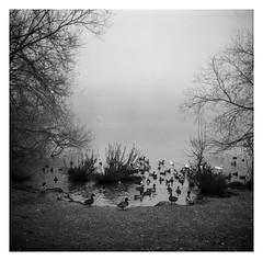 FILM - Reservoir's edge (fishyfish_arcade) Tags: analogphotography bw blackwhite blackandwhite foldingcamera istillshootfilm ilfordhp5 monochrome zeissmessikonta52416 analogcamera filmisnotdead mediumformat mono ducks waterfowl reservoir mist fog autumn fall