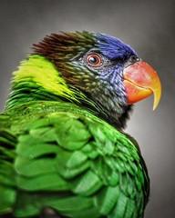 Lori... (D.Purkhart) Tags: lori papagei jungleparqueteneriffa vogel bird porträt