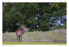 Le brame (BerColly) Tags: france auvergne cantal cerf deer nature bercolly google flickr
