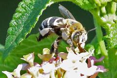Amegilla quadrifasciata (f) (Roy Lowry) Tags: thyreushistrionicus whitebandeddiggerbee stjulians stjuliansbay malta