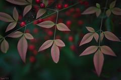 南天 (fumi*23) Tags: ilce7rm3 sony sigma sigma70mmf28dgmacro 70mm macro macrolens a7r3 plant leaf leaves nandina emount 南天 植物 葉 ソニー シグマ マクロレンズ