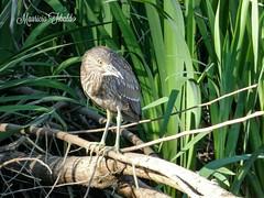 Garza bruja, juvenil -nycticorax nicticorax- (Black-crowned night-heron, juvenile) (mauricio.tibaldo) Tags: bird aves