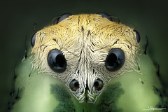 Peucetia viridans head 20x (quenoteam) Tags: olympus mitutoyo stacking spider closeup