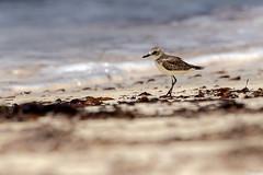 Gravelot mongol (gilbert.calatayud) Tags: oiseau bird pajaro mongol gravelot sand lesser plover charadrius mongolus charadriidés charadriiformes island seychelles indien océan chico chorlitejo
