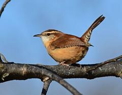 850_0241. Carolina Wren (laurie.mccarty) Tags: bird birding blue sky carolinawren wren nature naturephotography
