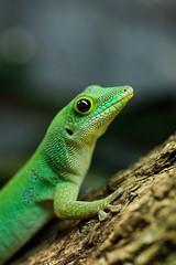 Seychelles Giant Day Gecko (Phelsuma sundbergi) (danko.leska) Tags: phelsuma gecko reptile lizard animal nature macro 100mm canon herpetology zoo zoology