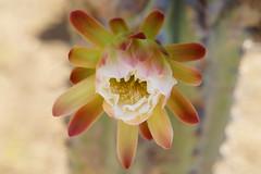 South_Europe_Сactus (uhtyjejik) Tags: barcelona spain france monaco montserrat cactus