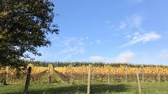 Chartham Vineyard (RobW_) Tags: chartham vineyard canterbury kent england tuesday 05nov2019 november 2019