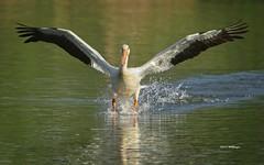 White Pelican Landing (wfgphoto) Tags: whitepelican landing water sunshine lake