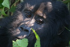 IMGP1522 Relax (Claudio e Lucia Images around the world) Tags: bwindi impenetrable forest np uganda impenetrableforestnp gorilla primate human trekking safari pentax silverback boss alphaman pentaxk3ii pentaxart portrait pentaxcamera sigma sigma50500 sigmalens sigmaart bigma apes