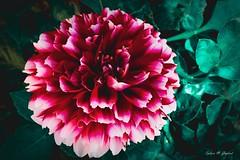 Rising Red (BookSmellLover) Tags: flower red white green garden petals bloom kwiat ogród zieleń czerwień biel lato summer