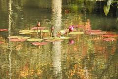 Water Lilies among the reflections at Gibbs Gardens (randyherring) Tags: gibbsgardens ballground ga cherokeecounty nature beauty
