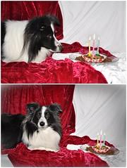 Nikolausi Fleur feiert ihren 3. Geburtstag (Uli He - Fotofee) Tags: geburtstag sheltie fleur hund dezember nikolaus nikolaustag ulrike ulrikehe uli ulihe ulrikehergert hergert nikon nikond90 fotofee