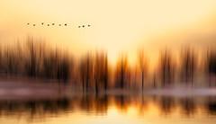 Solitude 703 (Wim Koopman) Tags: trees motion blur reflection mist fog surreal mood surrealism bird goose flight flying blue hour sunset flowing glowing