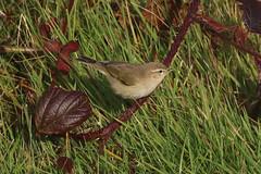 Siberian Chiffchaff - Winter visitor (Dougie Edmond) Tags: scotland unitedkingdom stevenston bird nature wildlife migrant