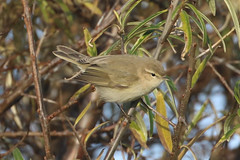 Siberian Chiffchaff - Winter visitor (Dougie Edmond) Tags: scotland stevenston bird nature unitedkingdom wildlife migrant