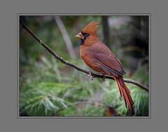 King of my backyard! (tvj21) Tags: cardinal malecardinal bird birdwatcher