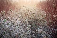 Borage and Dogwoods (tobchasinglight) Tags: aboretum dogwoods dorney dorneylake fog gardens landscape mist oaktrees silverbirch trees uk winter2019 woodland ©paulmitchell