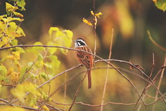 Meadow bunting (zbackkcabz) Tags: meadowbunting bunting beautiful bird birds nature naturewatcher wildbird wildlife awesome amazing animal scene cool country cute outdoor