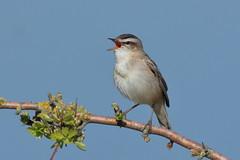 Sedge Warbler (Hammerchewer) Tags: sedgewarbler bird wildlife outdoor
