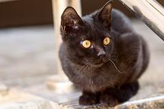 (Michael S Knight) Tags: cat blackcat michaelknight animal kitten nikond810 micronikkor 105mm
