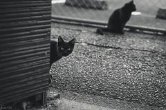 猫 (fumi*23) Tags: ilce7rm3 sony sel85f18 emount 85mm a7r3 animal alley bw bnw blackandwhite monochrome cat chat gato neko ねこ 猫 ソニー モノクロ 路地 katze fe85mmf18 feline