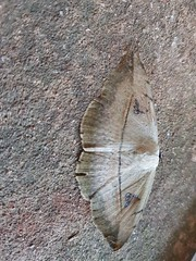 Unidentified brown moth 1 (SierraSunrise) Tags: thailand isaan esarn nongkhai phonphisai animals insects moths brown lepidoptera