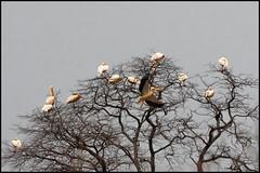White Pelican (John R Chandler) Tags: animal bird botswana greatwhitepelican khwai khwaiconcession okavangodelta pelecanusonocrotalus pelican whitepelican northwestdistrict