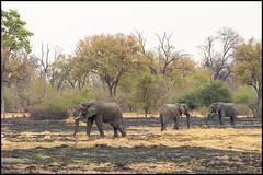 African Bush Elephant (John R Chandler) Tags: africanbushelephant africanelephant animal botswana elephant khwai khwaiconcession landscape loxodontaafricana mammal okavangodelta maun northwestdistrict