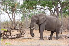 African Bush Elephant (John R Chandler) Tags: africanbushelephant africanelephant animal botswana elephant khwai khwaiconcession landscape loxodontaafricana mammal okavangodelta northwestdistrict