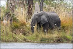 Prepared to Repel the Invaders (John R Chandler) Tags: africanbushelephant africanelephant animal botswana elephant lagoon loxodontaafricana mammal moremigamereserve okavangodelta xakanaxa xakanaxalagoon northwestdistrict
