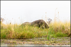 African Bush Elephant (John R Chandler) Tags: africanbushelephant africanelephant animal botswana elephant lagoon landscape loxodontaafricana mammal moremigamereserve okavangodelta xakanaxa xakanaxalagoon northwestdistrict