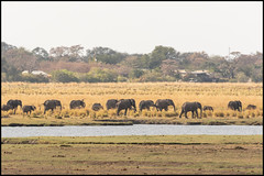 African Bush Elephant Herd (John R Chandler) Tags: africanbushelephant africanelephant animal botswana chobenationalpark choberiver elephant herd landscape loxodontaafricana mammal river chobe northwestdistrict