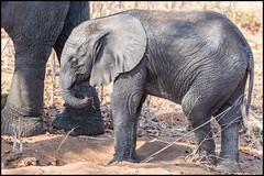Baby Elephant (John R Chandler) Tags: africanbushelephant africanelephant animal baby botswana chobenationalpark elephant loxodontaafricana mammal chobe northwestdistrict
