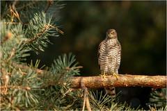 Perching (Gertj123) Tags: bird birdofprey birdwatching animal avian hbn7 tree thenetherlands canon wildlife lemelerberg