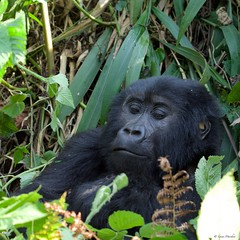 IMGP3886 Relax (Claudio e Lucia Images around the world) Tags: bwindi impenetrable forest np uganda impenetrableforestnp gorilla primate human trekking safari pentax pentaxkp pentaxlens pentaxcamera pentaxart pentax60250