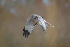 Gray Ghost (Kevin James54) Tags: circuscyaneus grayghost kevingiannini nikon500mmpff56 nikond850 northernharrier animals avian bird kevingianniniphotocom
