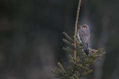 Northern Flicker (F) (Peter Stahl Photography) Tags: flicker northernflicker woodpecker