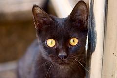 (Michael S Knight) Tags: blackcat cat kitchen animal nikond810 michaelknight micronikkor 105mm