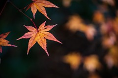 Portrait of Autumn #4 (somazeon) Tags: f28 35100mm gx7 lumix panasonic maple bokeh red autumn