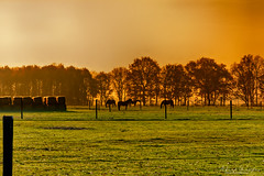 Horses In The Sun (Alfred Grupstra) Tags: nature tree outdoors sunset autumn ruralscene landscape grass sunlight season farm agriculture field meadow scenics summer sun forest sky beautyinnature 66