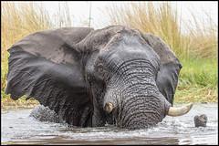 Elephant Attack! (John R Chandler) Tags: africanbushelephant africanelephant animal botswana elephant lagoon loxodontaafricana mammal moremigamereserve okavangodelta xakanaxa xakanaxalagoon northwestdistrict