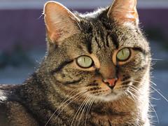 DSCN8165 (keepps) Tags: switzerland suisse schweiz winter fribourg animal cat