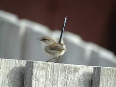 Cranbourne '19 (faun070) Tags: cranbournegardens superbfairywren wildlife bird australia
