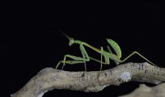 Omomantis Zebrata (LovelyPhotographie) Tags: insect insecte animal animaux religieuse vert mante mantes
