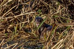 Otter (Andrew Longhurst) Tags: otter otters perch crayfish wild animal suffolk