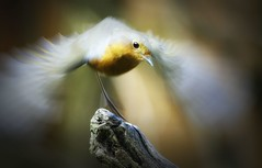 """""""Just a Blur"""". (mortimer.adrian) Tags: nature bird robin motion"""